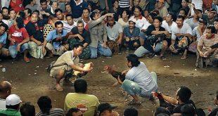 Melihat Sabung Ayam Asli Indonesia Khas Toraja