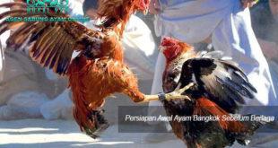 Agen Sabung Ayam Online - Persiapan Awal Ayam Bangkok Sebelum Berlaga