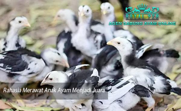 Agen Sabung Ayam Online - Rahasia Merawat Anak Ayam Menjadi Juara