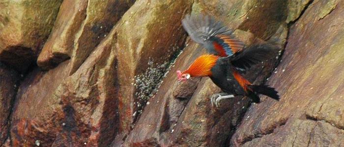 CIri-Ciri dan Kebiasaan Ayam Hutan Lokal Asli Jawa