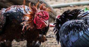 Ciri-Ciri Khas Sabung Ayam Petarung Unggul