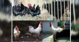 Ciri - Ciri Lengkap Ayam Kedu Hias Yang Tidak Banyak di Ketahui
