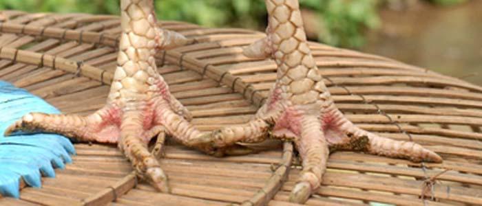 Ciri-Ciri Sisik Kaki Sabung Ayam Bangkok Pembunuh