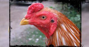 Ciri Mata Sabung Ayam Aduan Kualitas Juara Laga