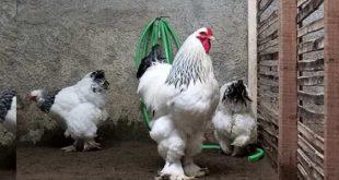Faktor-Faktor Yang Membuat Harga Ayam Brahma Menjadi Mahal