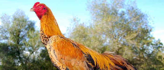 Jenis Ayam Brazil Asal Amerika Selatan