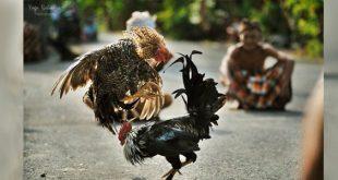Jenis - Jenis Ayam Aduan Lokal Asli dan Khas Indonesia