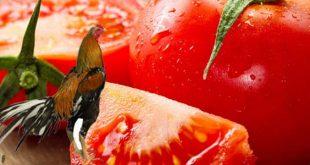 Kegunaan Tomat Sebagai Pakan Tambahan Sabung Ayam Bangkok