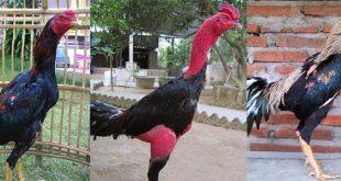 Kenali 3 Jenis Sabung Ayam Terlaris di Seluruh Dunia