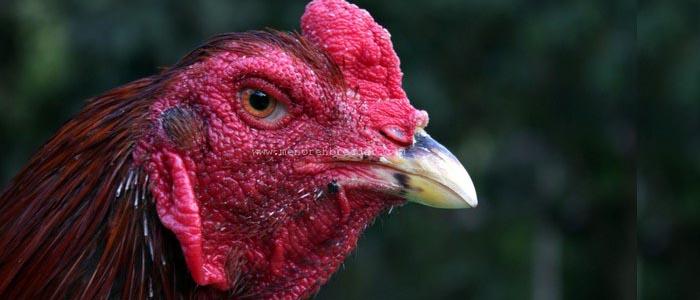 Kenali Ciri-Ciri mata Sabung Ayam Bangkok Aduan Unggul