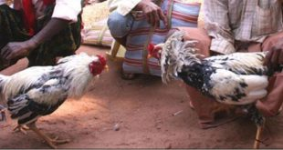 Kenali Jenis-Jenis Ayam Madras Asli Pakistan Yang Populer
