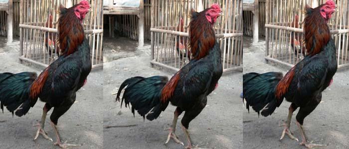 Kenali Keunggulan dan Kelemahan Sabung Ayam Bangkok Kuncir
