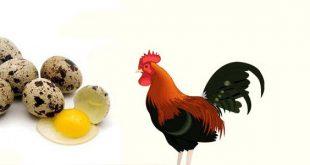 Khasiat Telur Puyuh Sebagai Penambah Energi sabung Ayam Bangkok