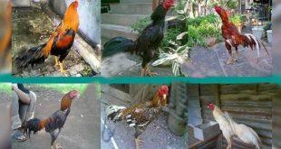 Melihat Ciri Karakter Sabung Ayam Dari Warna Bulu