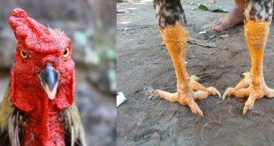 Mengenali Perbedaan Jenis Sabung Ayam Taji dan Ayam Pukul