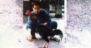 Sabung Ayam Jago Asli Pulau Formosa Taiwan