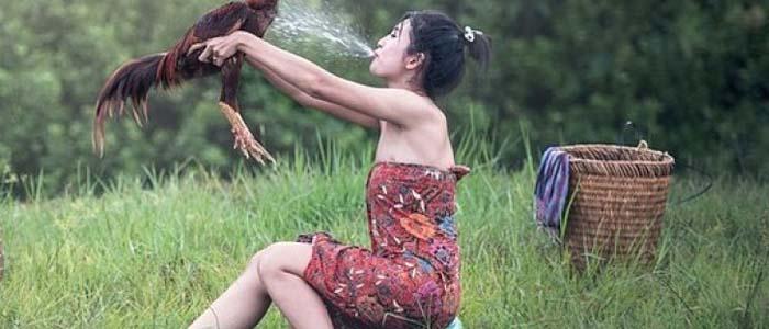 Tata Cara Memandikan Sabung Ayam Bangkok Yang Baik dan Benar