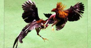 Tips Melatih Sabung Ayam Bangkok Teknik Pukul KO