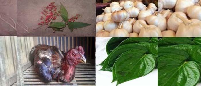 Tips Mengobati Ngorok Sabung Ayam Bangkok yang Paling Ampuh