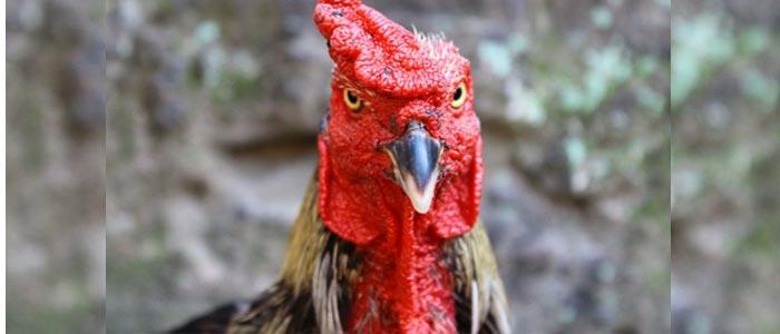 Tips Mudah Untuk Menguatkan Paruh Sabung Ayam Bangkok