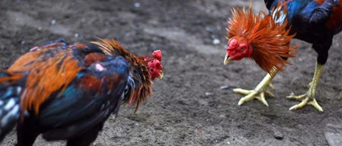 Akibat Negatif dan Positif Jika Sabung Ayam Sering di Laga