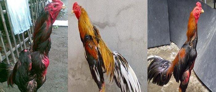 Beberapa Kesalahan Ketika Merawat Sabung Ayam Bangkok