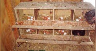 Bentuk Kandang Pengeraman Untuk Sabung Ayam Yang Ideal