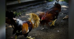 Jenis - Jenis Sabung Ayam Taji Khas Filipina Asli
