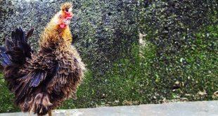 Mengenal Sejarah Jenis Ayam Walik Lokal Khas Bogor