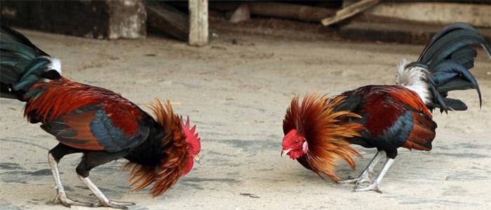 Mengenal Ukuran Standart Ayam Sabung Untuk Pemula