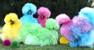 Panduan Tentang Mengenali Sejarah Jenis Ayam Hias Kapas (Ayam Silky)