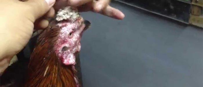 Tips Mengobati Kurap pada Sabung Ayam bangkok Dengan Bahan Alami
