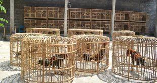 Ukuran Ideal Kandang Sabung Ayam Aduan