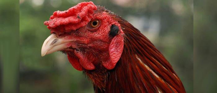 Cara Melihat Mata Sabung Ayam Bangkok Terbaik di Kelasnya