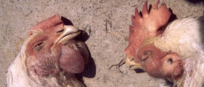 Cara Mengobati Penyakit Snot Pada Ayam Aduan Jagoan Anda