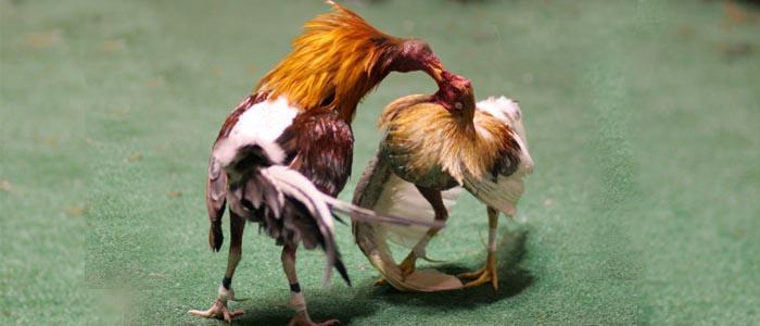 Mengenal Sabung Ayam Taji Pisau Atau Sabung Ayam Pisau