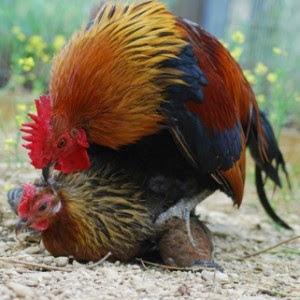 Cara-Cara-Mudah-Dalam-Mengkawinkan-Ayam-Bangkok