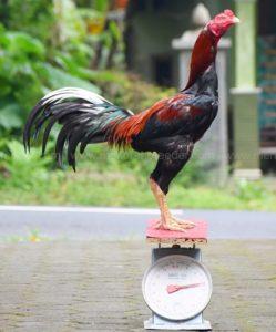 Cara-Menggemukan-Ayam-Bangkok-Yang-Kurus