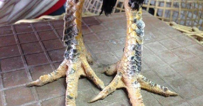 Ciri kaki Ayam Dengan Pukulan Mematikan
