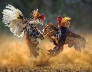 Faktor Penunjang Dalam Membuat Ayam Aduan Menjadi Ganas