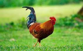 Kesalahan-Yang-Sering-Dilakukan-Para-Penghobi-Ayam-Aduan
