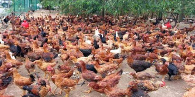 Mengenal-Lebih-Dekat-Ayam-Kampung-Super