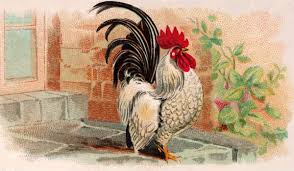Tahap-Tahap-Memulai-Ternak-Ayam-Kate