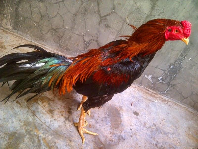 Tips-Perawatan-Bulu-Ayam-Bangkok-Agar-Mengkilat