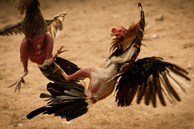 Cara-Melatih-Pukulan-Mematikan-Kaki-Ayam-Aduan