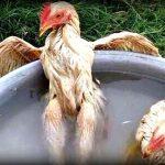 Cara Memandikan Ayam Aduan Yang Baik Dan Benar