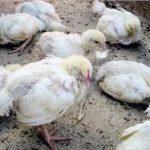 Cara Mengatasi Penyakit Berak Kapur Pada Ayam Aduan