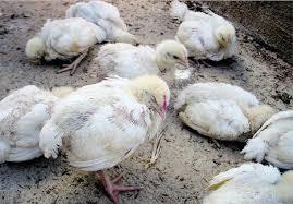 Cara-Mengatasi-Penyakit-Berak-Kapur-Pada-Ayam-Aduan