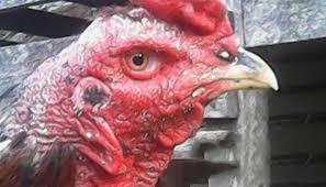 Cara-Mengobati-Penyakit-Kurap-Pada-Ayam-Bangkok-Dengan-Bahan-Alami