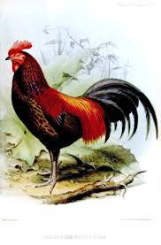 Cara-Perawatan-Ayam-Bekisar-Memiliki-Suara-Merdu